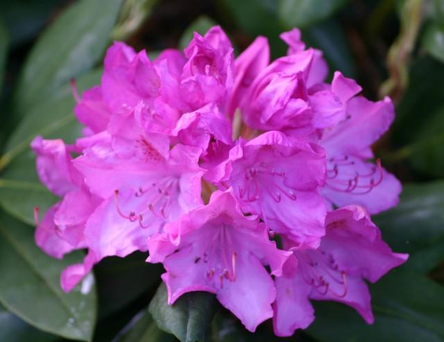 RhododendronHybridaRoseumElegans_01