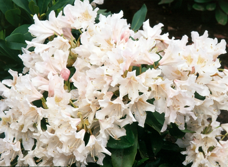 Rhododendron_Cunningham_White