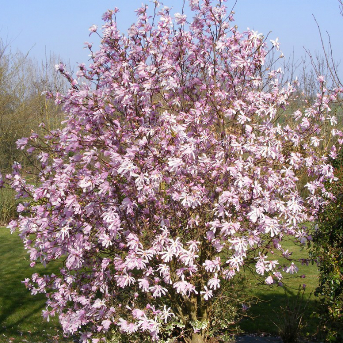 magnoliya-leonard-messel
