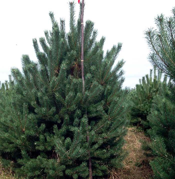 Сосна «Норски Тип» Pinus sylvestris 'Norske Typ'