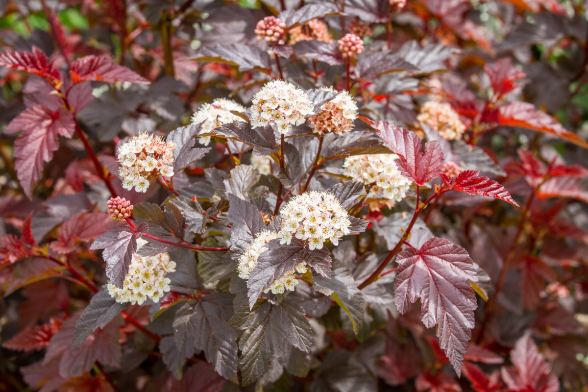 Flowering physocarpus with red leaves and white flowers