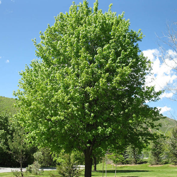 Acer-campestre