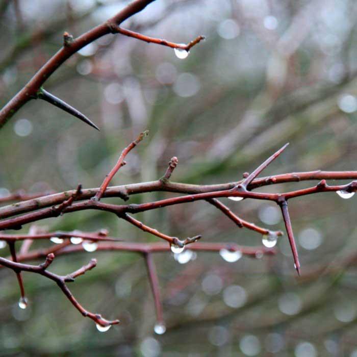 Crataegus-prunifolia