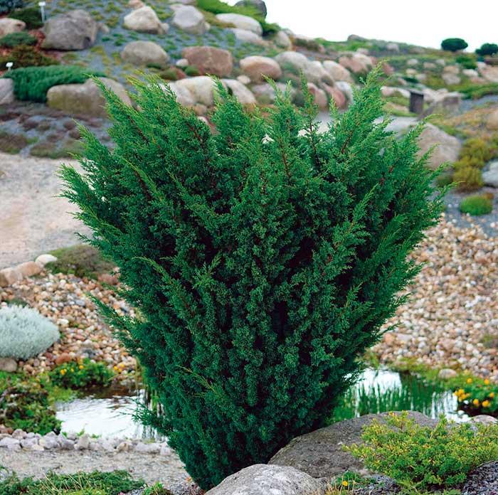 Juniperus_chinensis_Blaauw