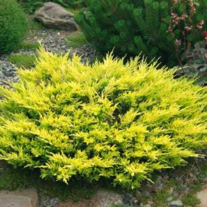 "Juniperus pfitzeriana ""Old Gold"""