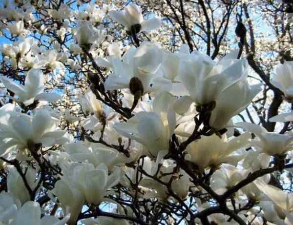 Magnolia ' Merrill '