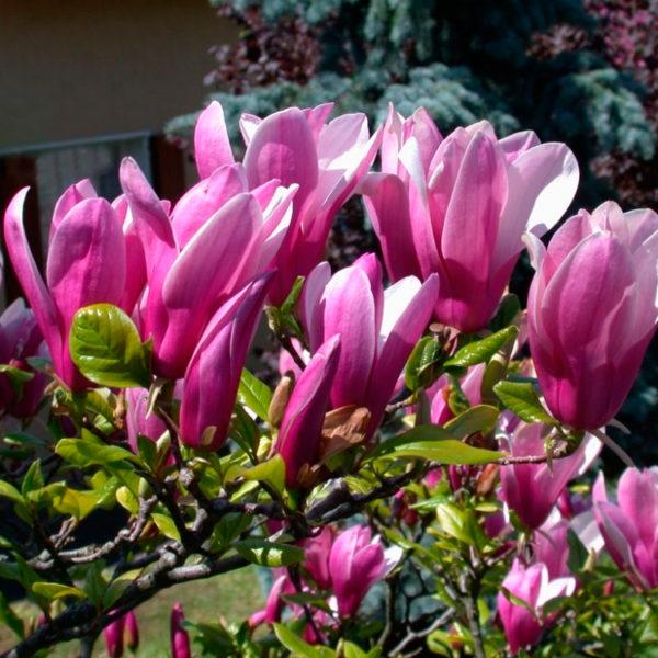 Magnolia-'Susan'