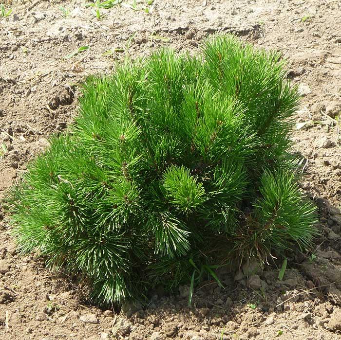 Пуміліо Pinus mugo var.pumilio