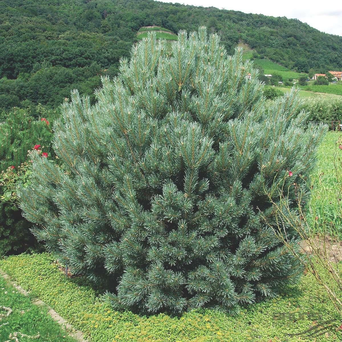 Pinus_sylvestris_Watereri_2005_3183_q