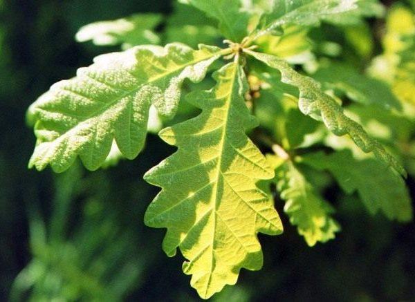 Quercus-petraea