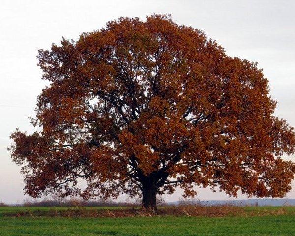 Quercus-petraea.jpg