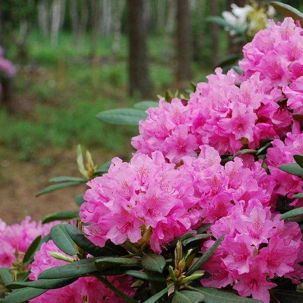 Rhododendron Haaga