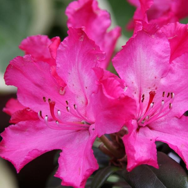 Rhododendron Helliki