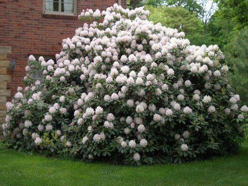 Rhododendron-cunningham-white
