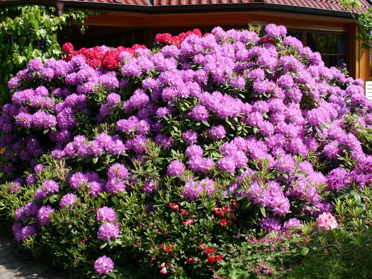 RhododendronCatawbienseGrandiflorum_04