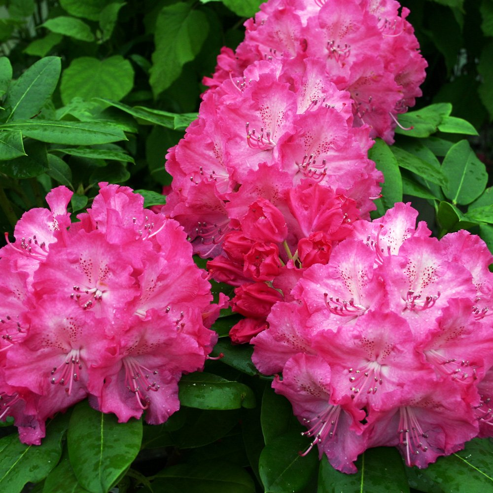 RhododendronHybridaGermania_01
