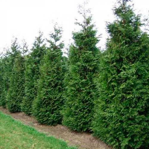 Thuja occidentalis «Brabant»