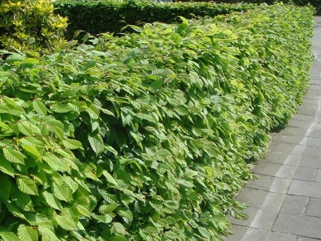 carpinus-betulus-variegata