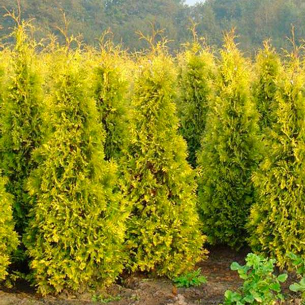 "Thuja occidentalis ""Europe Gold"""