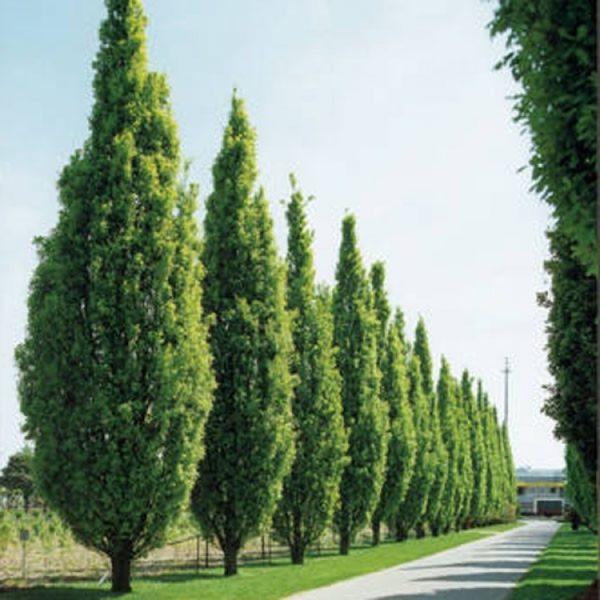 Quercus robur «Fastiagata»