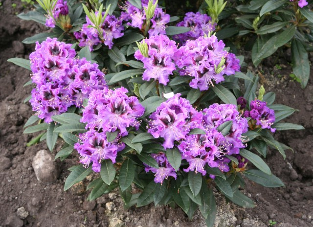 rhododendron_hybride_blaue_jungs_pflanze