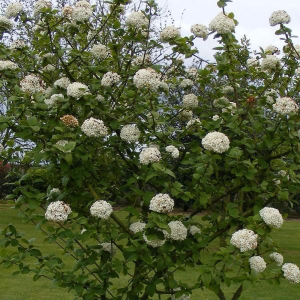 viburnum-×-burkwoodii-2-600x600